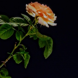 Una rosa en la oscuridad
